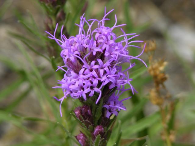 Gross Dam, Colorado: purple wildflowers